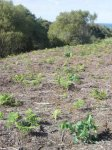 Verdegaia denuncia a plantación de eucaliptos en hábitats da Rede Natura