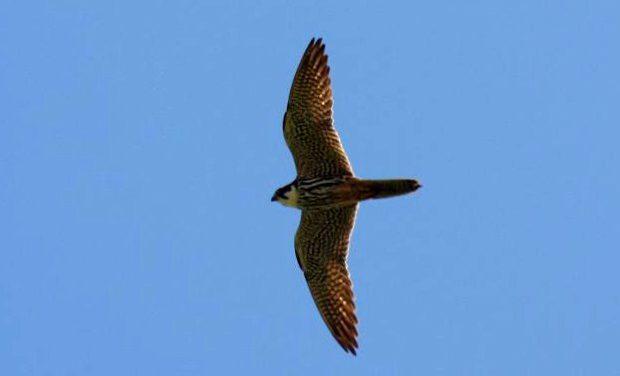 Verdegaia-Pontevedra participa no Censo de Aves Rapaces