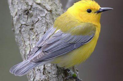 Verdegaia celebrará o Día da Aves cun roteiro ornitolóxico pola enseada de San Simón