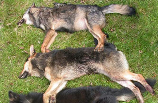 Verdegaia rexeita as batidas de supostos lobos híbridos na comarca da Barbanza