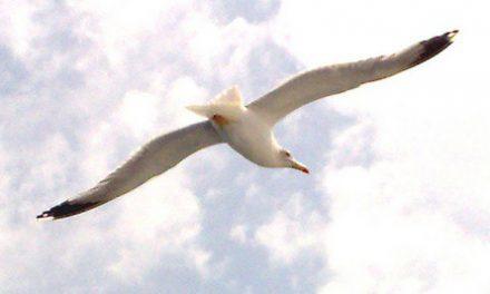 Verdegaia solicita información sobre capturas de gaivotas no porto de Vigo