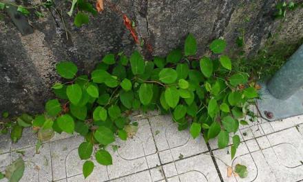 AHE, SGHN e Verdegaia piden o control de Fallopia japonicanas Gándaras de Budiño