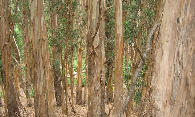 O eucalipto Eucalyptus globulus é unha especie exótica invasora en Galicia