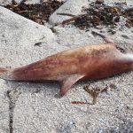 Solicitamos medidas urxentes para a protección dos golfiños no Golfo de Biscaia.