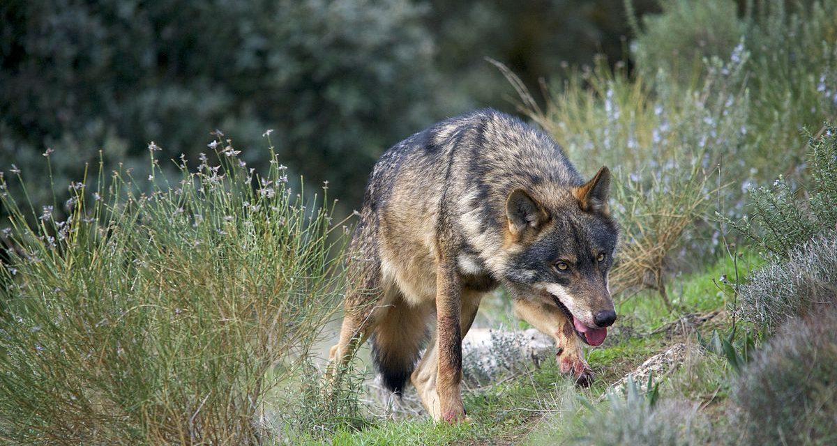 Manifesto pola protección do Lobo