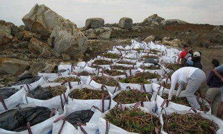 Eliminados 5.000 kg de herba do coitelo en Sálvora